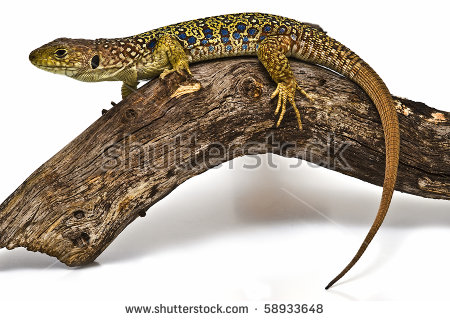 Ocellated Lizard clipart #16, Download drawings