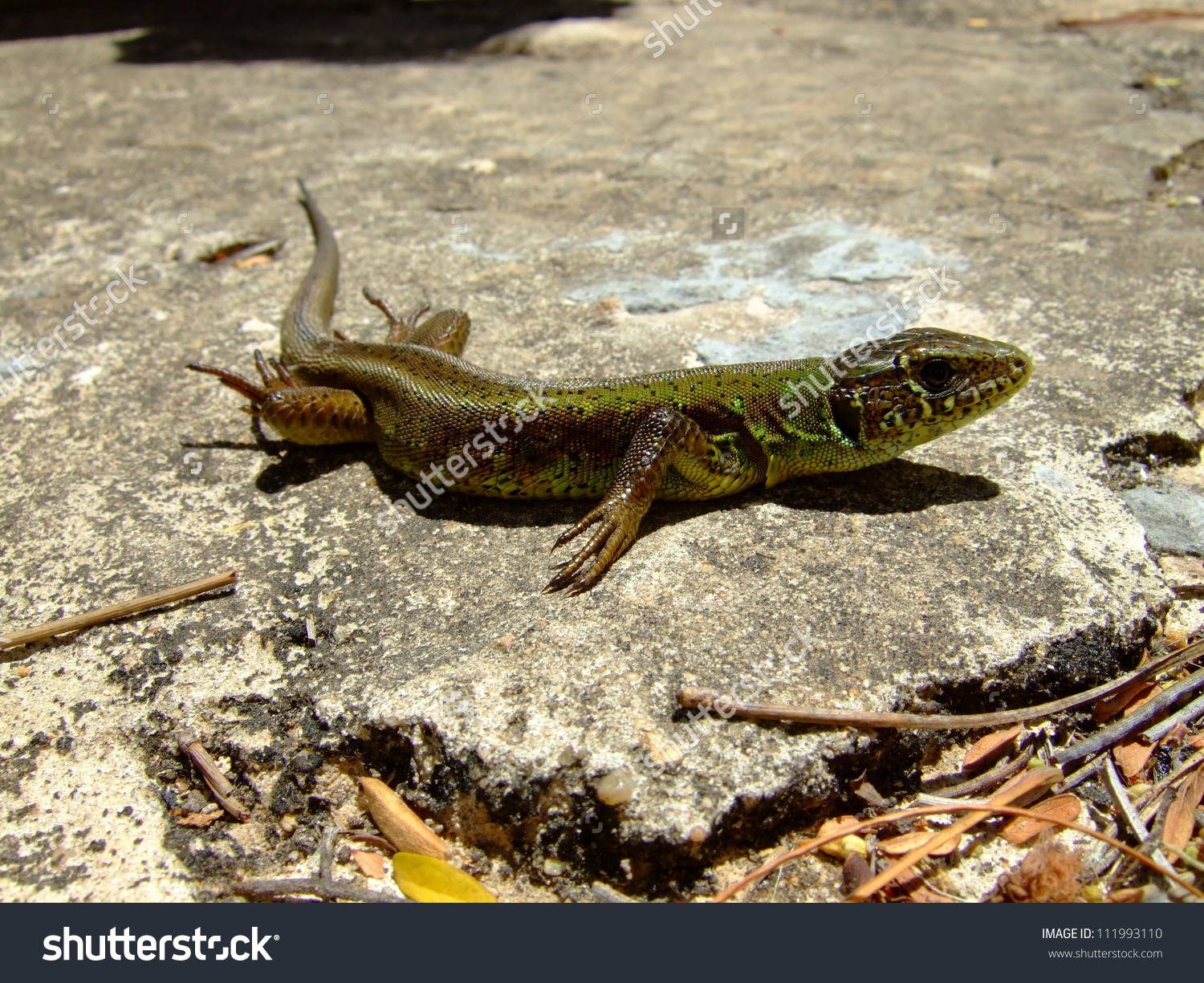 Ocellated Lizard clipart #4, Download drawings
