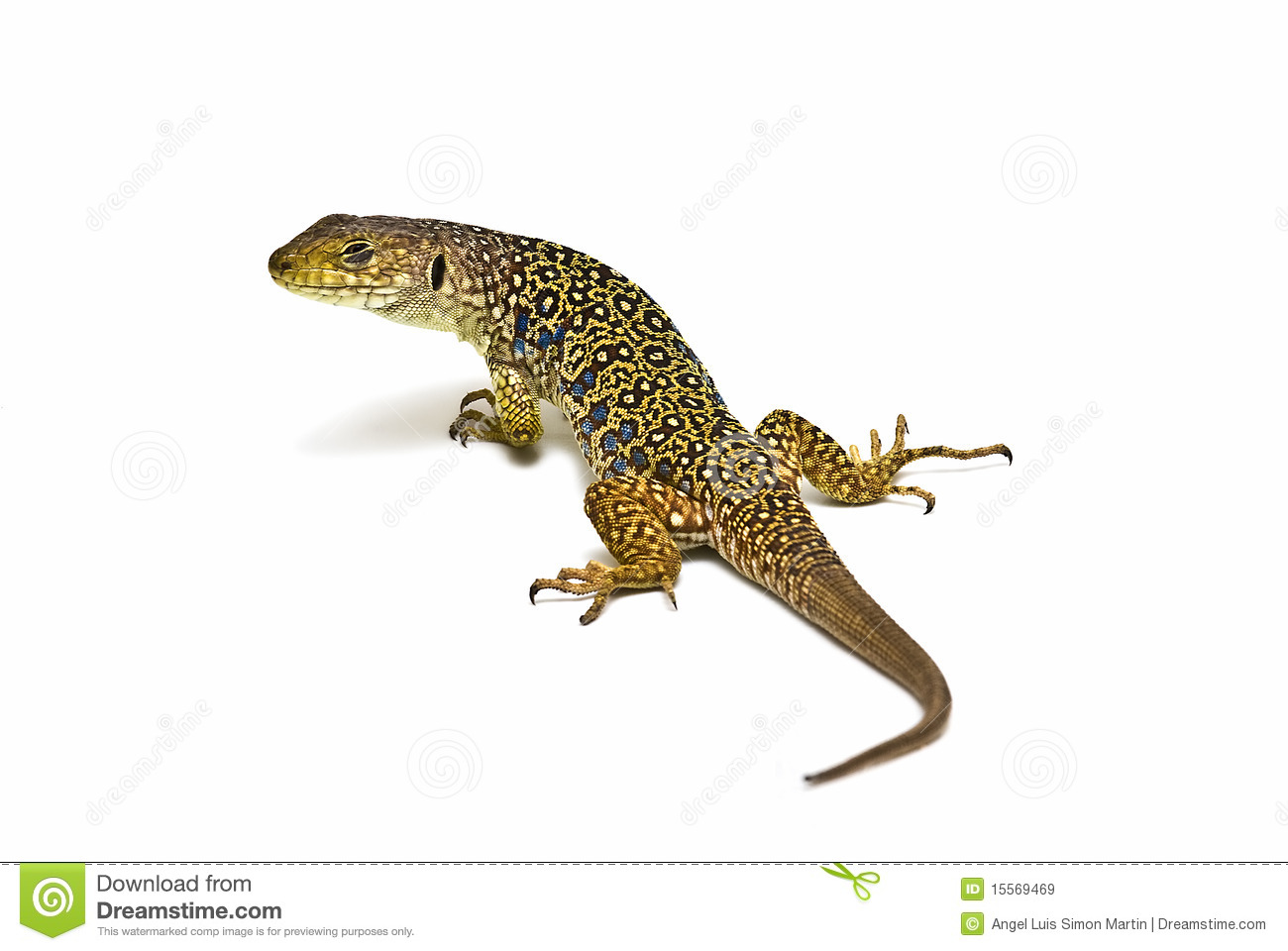 Ocellated Lizard clipart #13, Download drawings