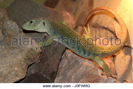 Ocellated Lizard coloring #15, Download drawings