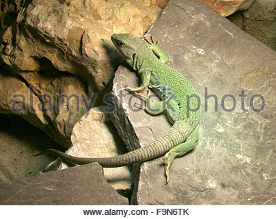 Ocellated Lizard coloring #13, Download drawings