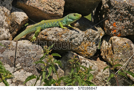 Ocellated Lizard coloring #3, Download drawings