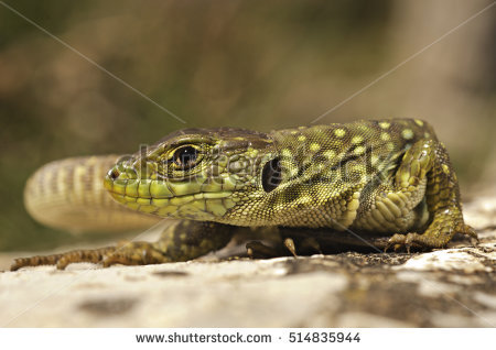 Ocellated Lizard coloring #8, Download drawings