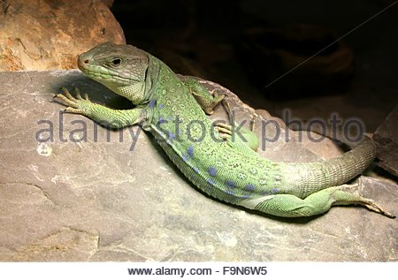 Ocellated Lizard coloring #1, Download drawings