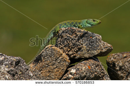 Ocellated Lizard coloring #19, Download drawings
