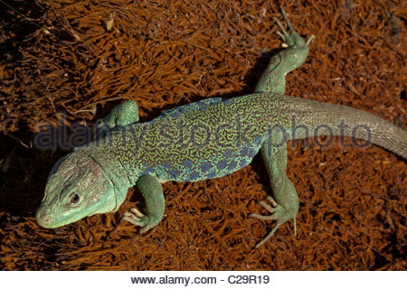Ocellated Lizard coloring #18, Download drawings