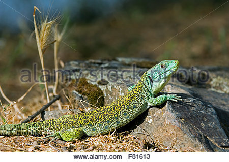 Ocellated Lizard coloring #16, Download drawings