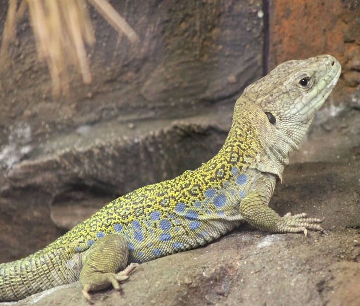 Ocellated Lizard coloring #9, Download drawings