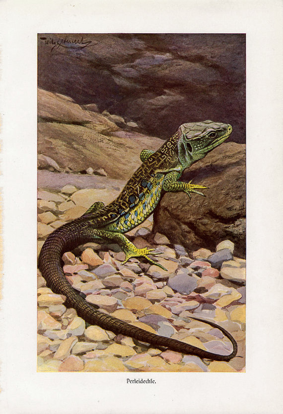 Ocellated Lizard coloring #11, Download drawings