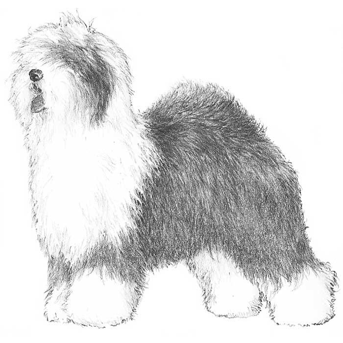 Old English Sheepdog coloring #9, Download drawings