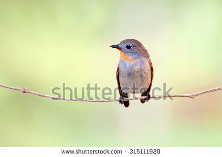 Old World Flycatcher clipart #9, Download drawings