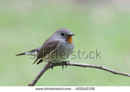 Old World Flycatcher clipart #2, Download drawings
