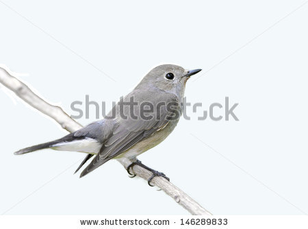 Old World Flycatcher clipart #10, Download drawings