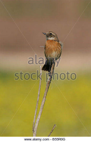 Old World Flycatcher coloring #10, Download drawings