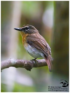 Old World Flycatcher coloring #16, Download drawings
