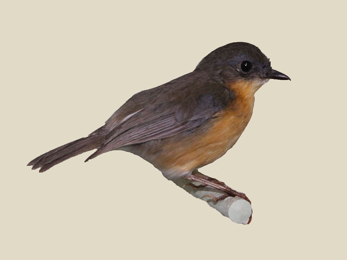 Old World Flycatcher svg #7, Download drawings