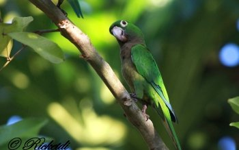 Olive-Throated Parakeet clipart #11, Download drawings