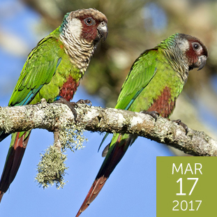 Olive-Throated Parakeet clipart #8, Download drawings