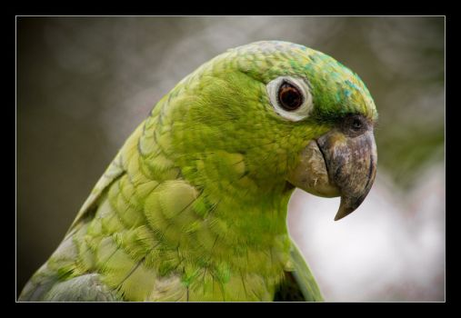 Olive-Throated Parakeet clipart #7, Download drawings