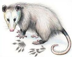 Opossum clipart #20, Download drawings