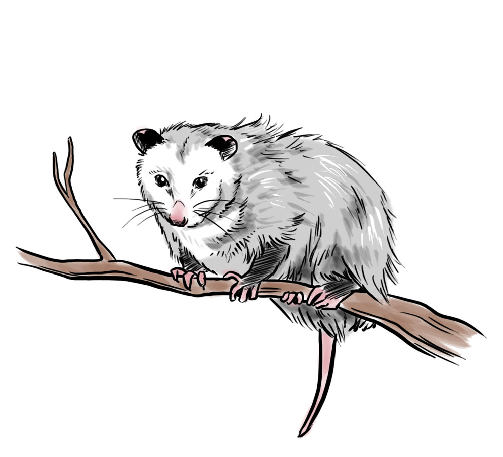 Opossum clipart #5, Download drawings