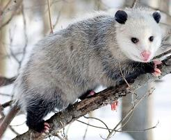 Opossum clipart #10, Download drawings