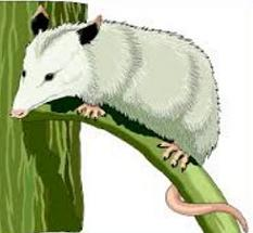 Opossum clipart #14, Download drawings