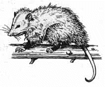 Opossum clipart #18, Download drawings