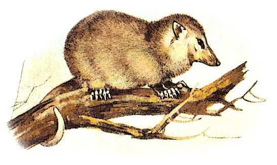 Opossum clipart #16, Download drawings