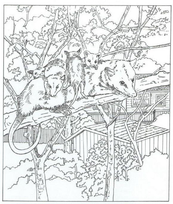 Opossum coloring #1, Download drawings