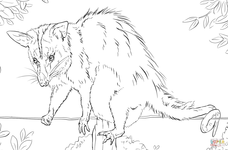 Opossum coloring #3, Download drawings