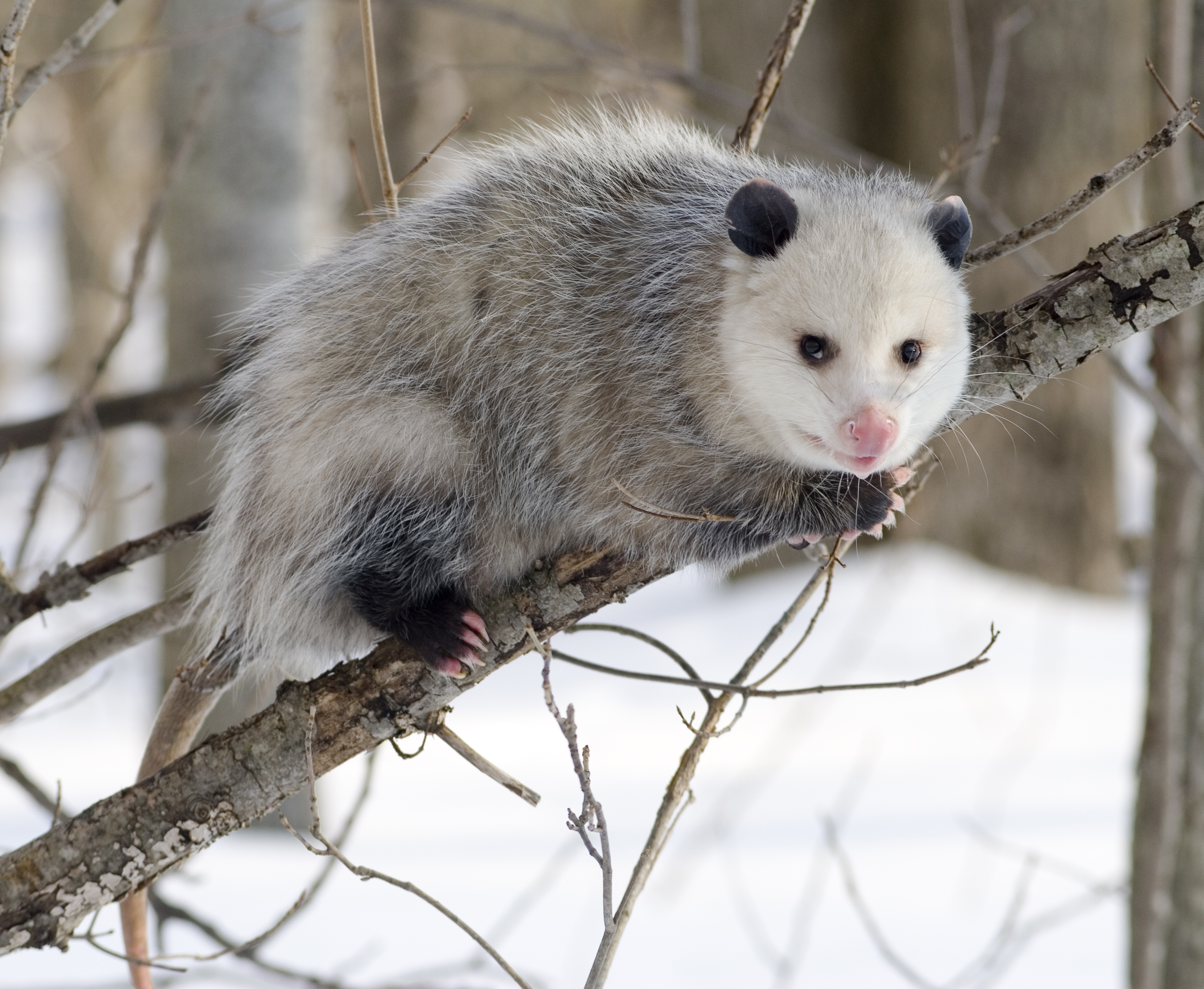 Opossum svg #8, Download drawings