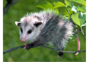 Opossum svg #15, Download drawings