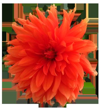 Orange Flower clipart #10, Download drawings
