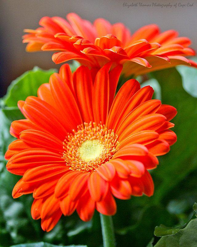 Orange Flower coloring #20, Download drawings