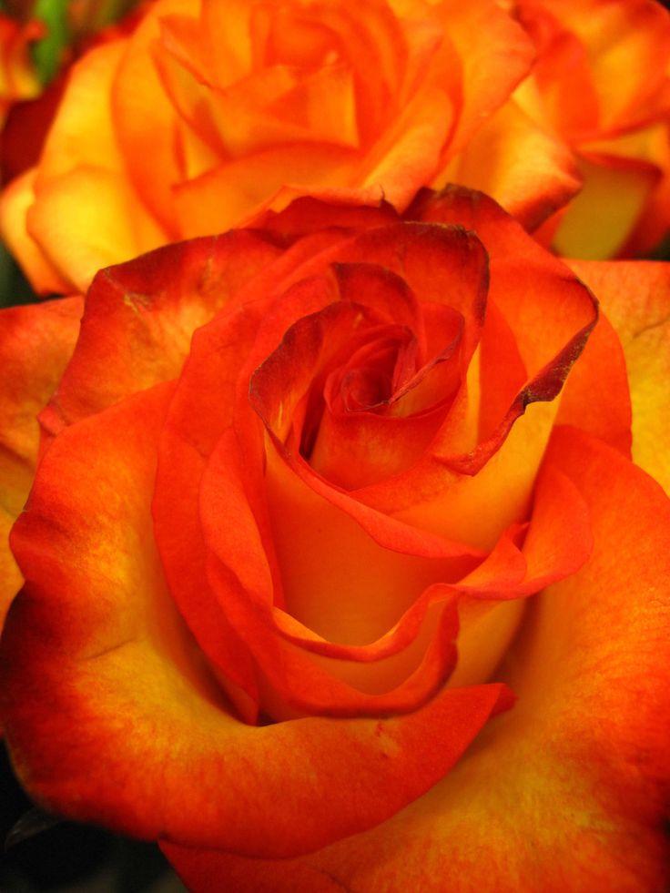Orange Flower coloring #8, Download drawings