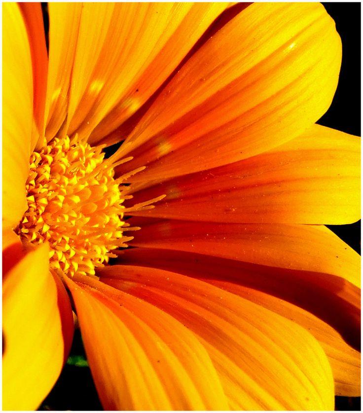 Orange Flower coloring #4, Download drawings