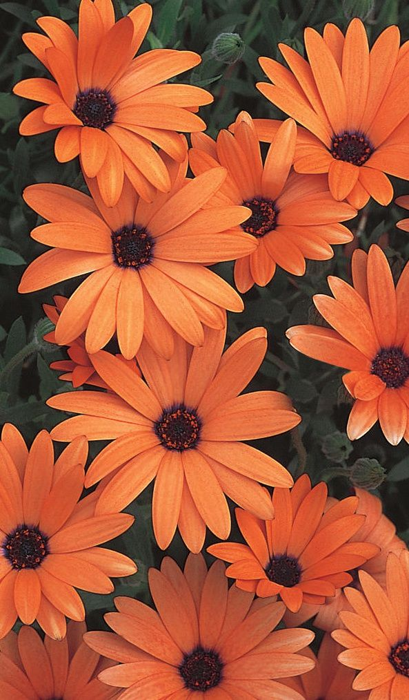 Orange Flower coloring #1, Download drawings