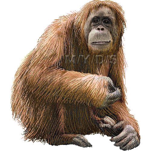 Orangutan clipart #4, Download drawings