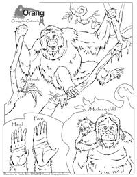 Orangutan coloring #4, Download drawings