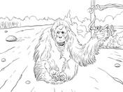 Orangutan coloring #2, Download drawings