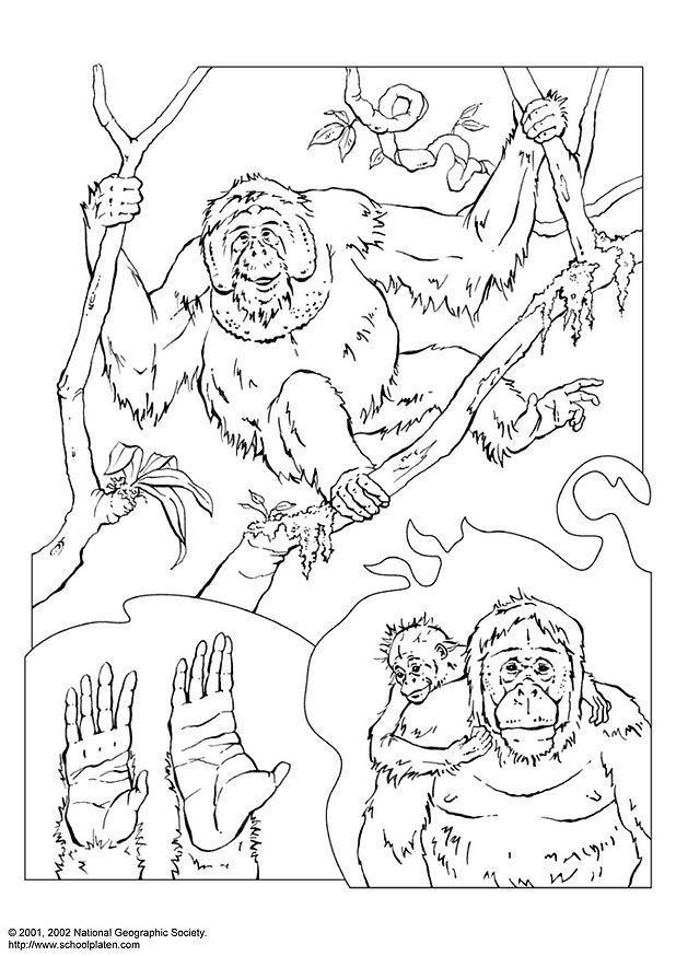 Orangutan coloring #3, Download drawings