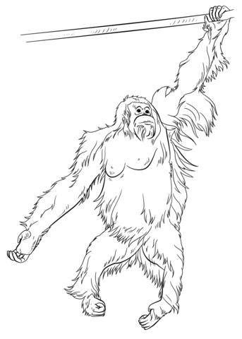 Orangutan coloring #18, Download drawings