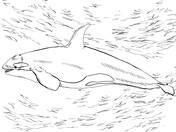 Orca coloring #5, Download drawings