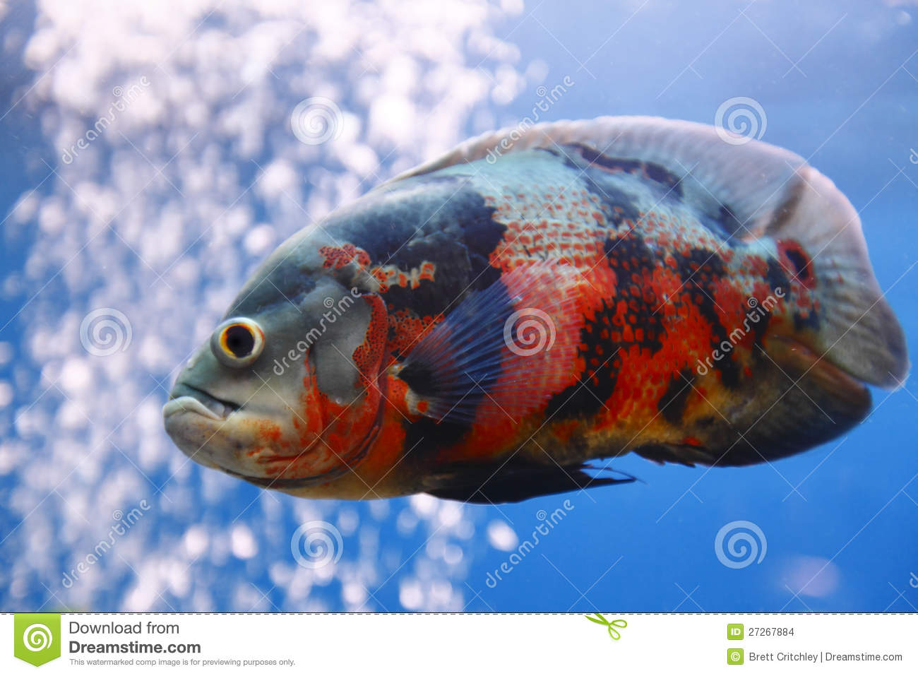 Oscar (Fish) clipart #14, Download drawings