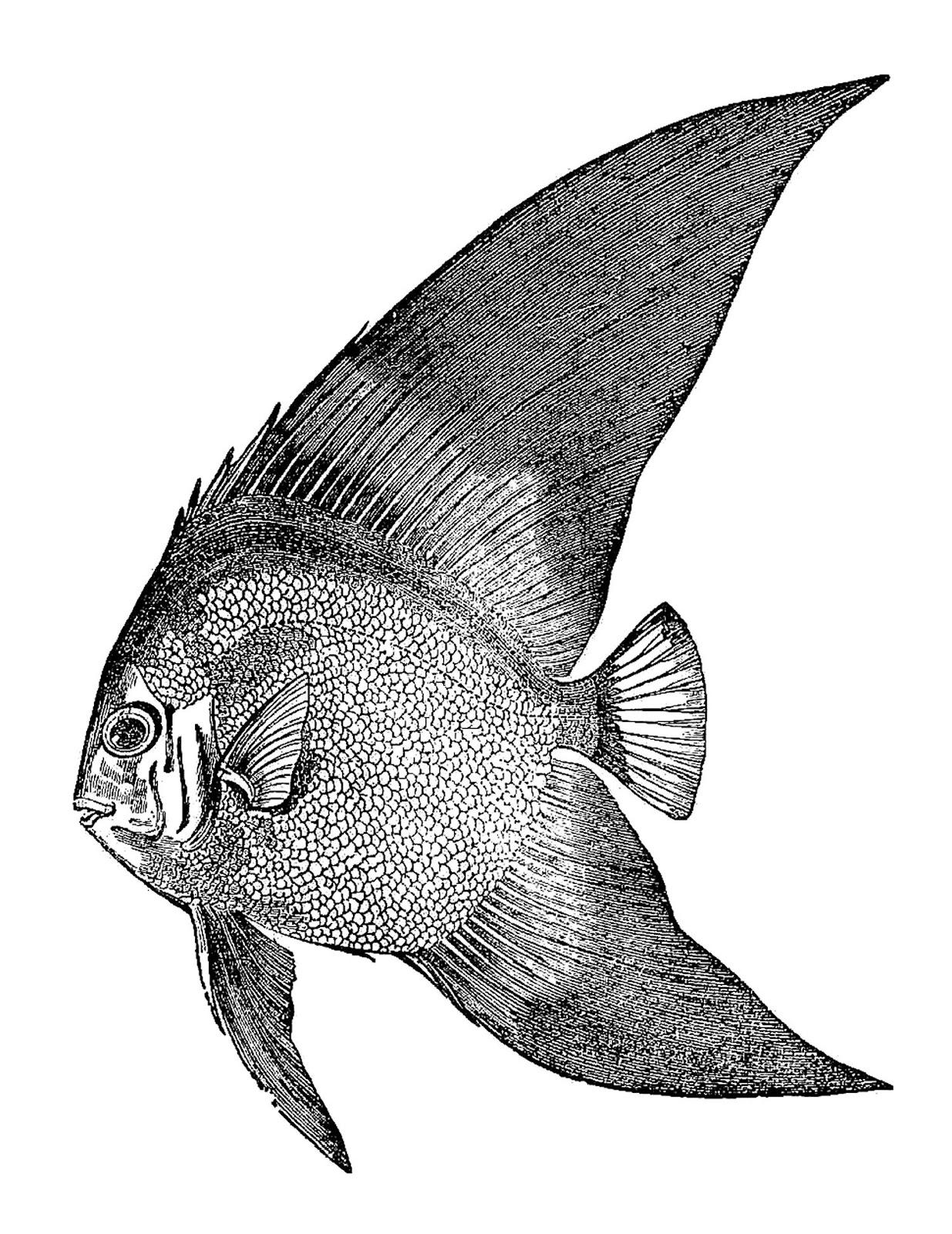 Oscar (Fish) clipart #17, Download drawings