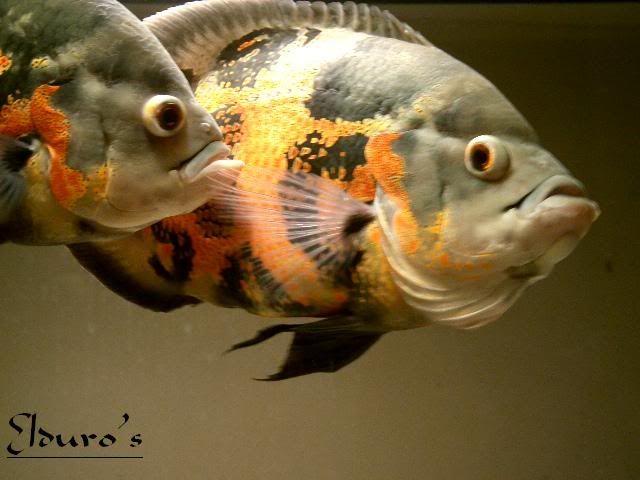 Oscar (Fish) clipart #13, Download drawings