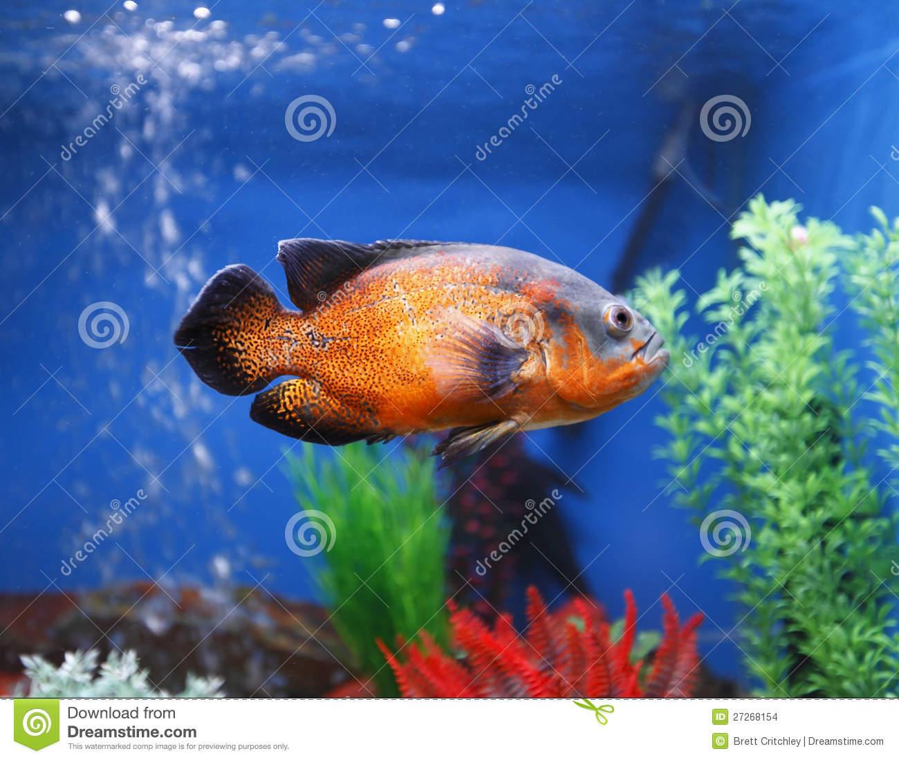 Oscar (Fish) clipart #12, Download drawings