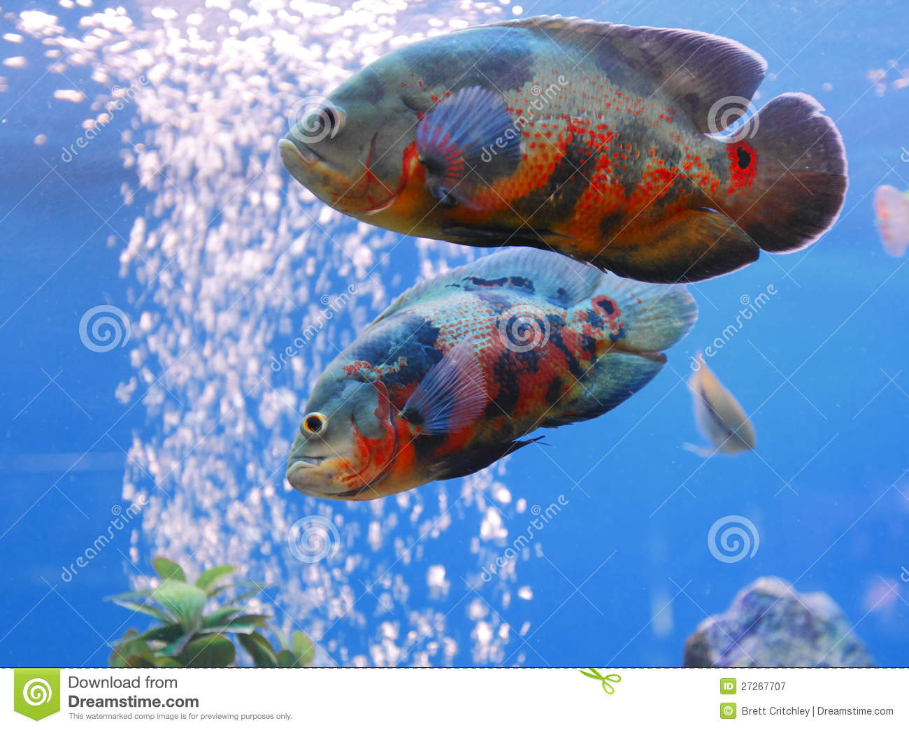 Oscar (Fish) clipart #6, Download drawings