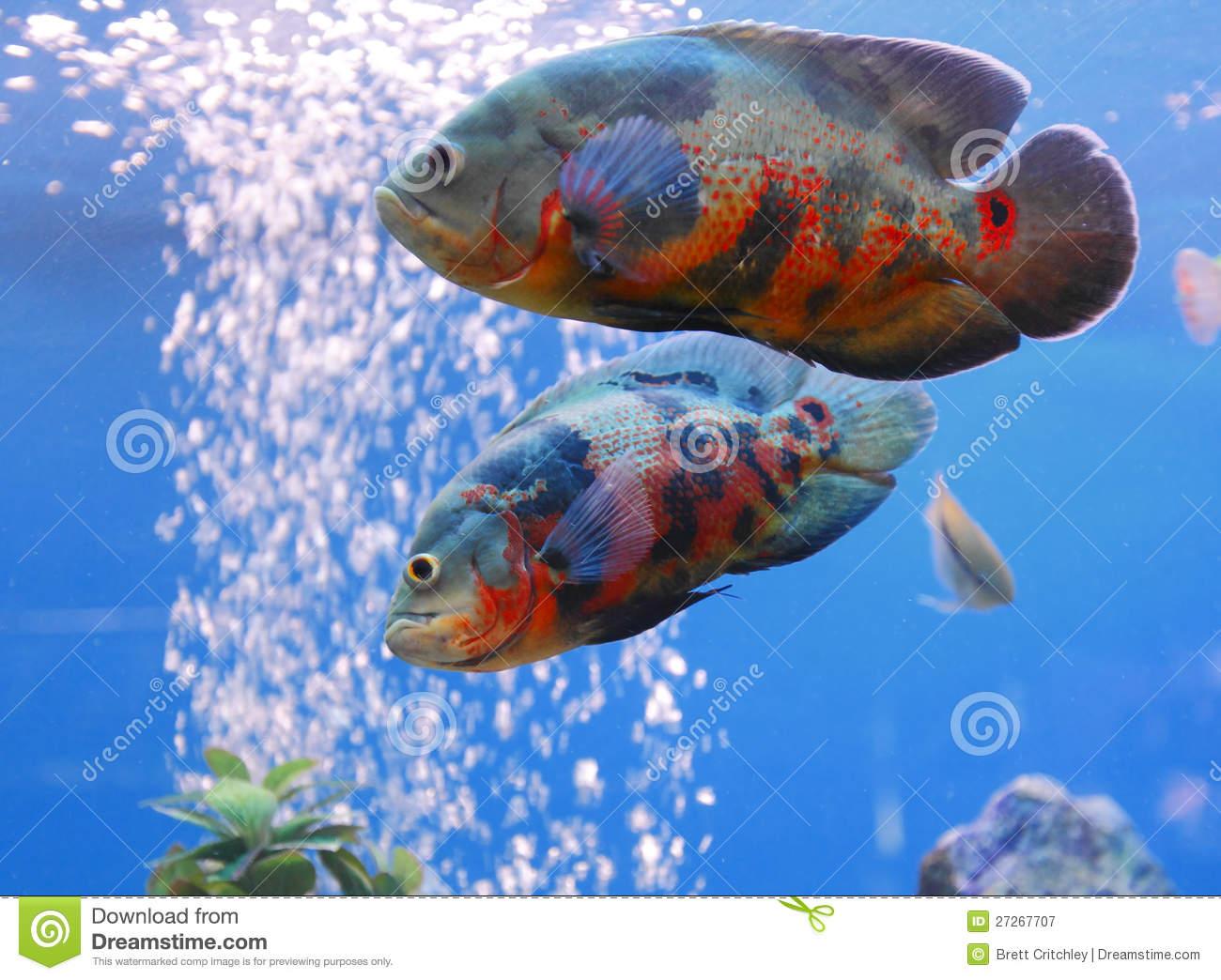 Oscar (Fish) clipart #15, Download drawings